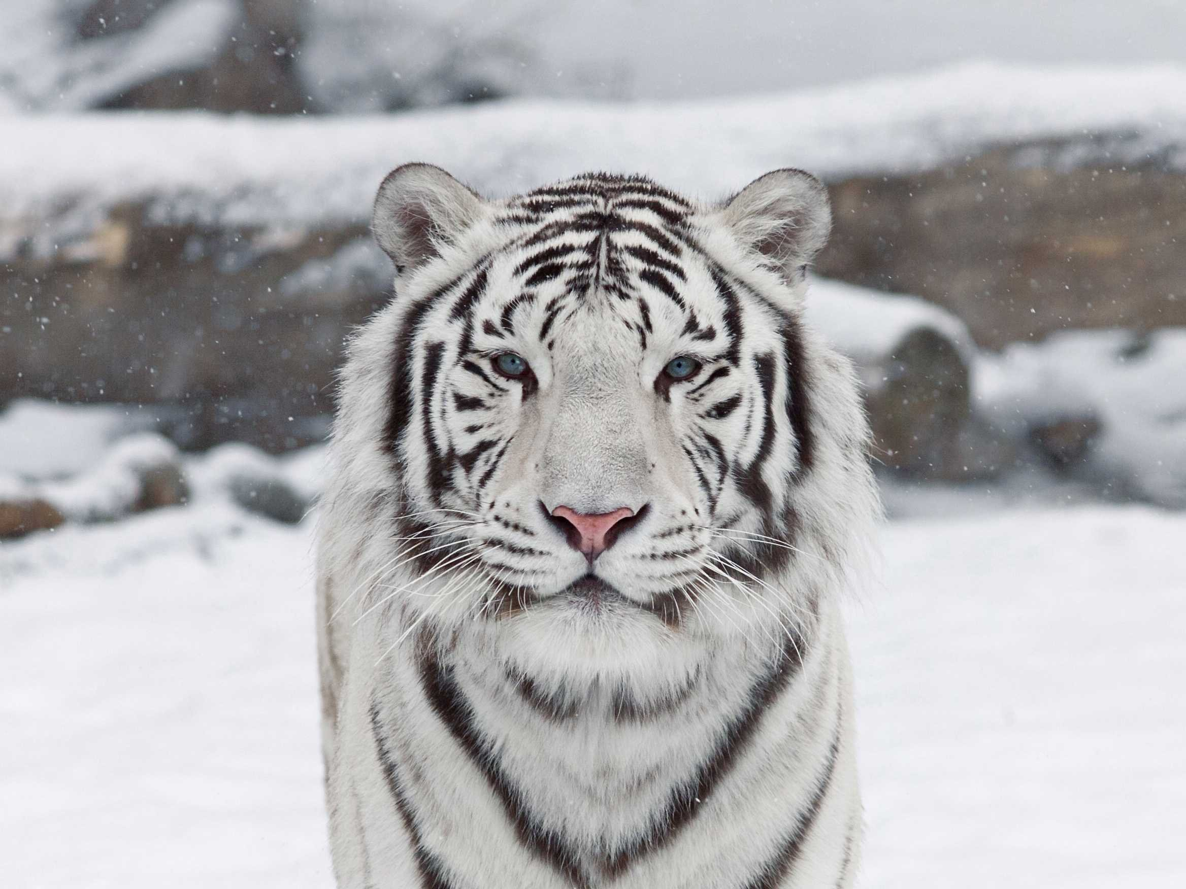 "Analysis of ""The White Tiger"" by Aravind Adiga Essay Sample"